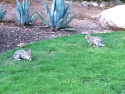 Miraval Bunnies in Residence